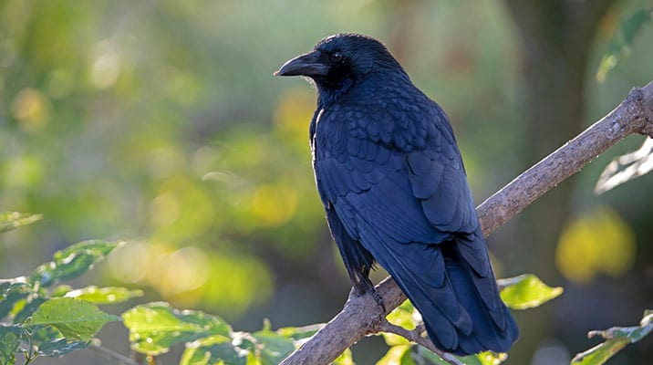 Carrion crow on a tree branch