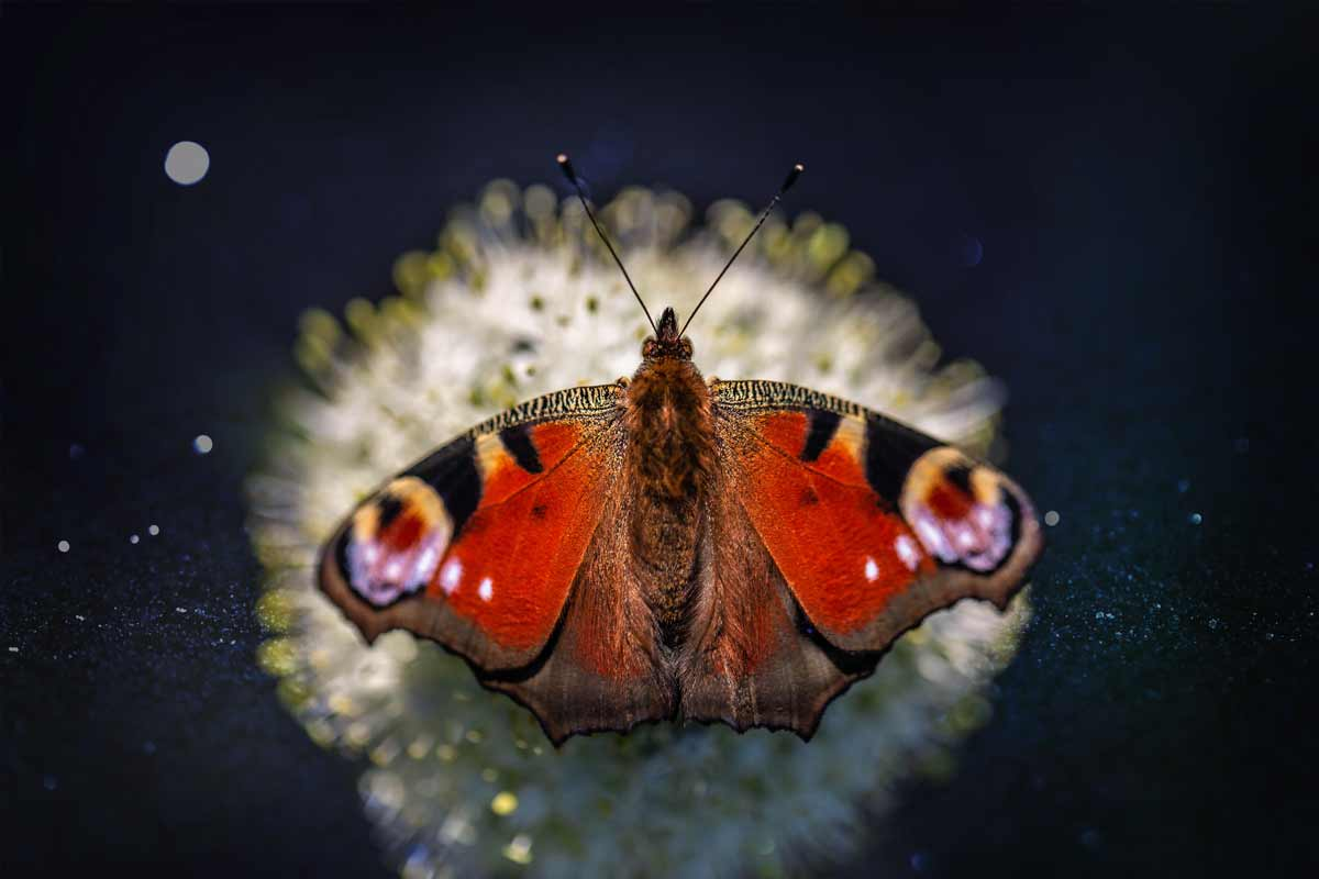 Butterfly Symbolism, Meaning, & Dream Interpretation