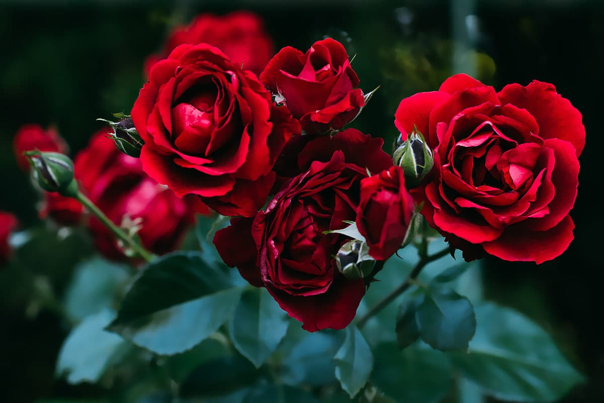 meaning and symbolism of rose